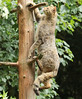 european wild cat anholt BB2A2501 (j.a.kok) Tags: kat cat europesewildekat europeanwildcat wildekat wildcat anholt animal europe europa mammal zoogdier dier feline