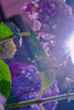 _DSC5207 (sayo-tsu) Tags: hydrangea 紫陽花 アジサイ saitama sattecity gongendopark 権現堂
