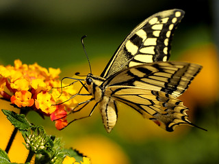 Mariposa livre!