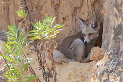 Young red (Palestinian) fox (Dave 5533) Tags: animal fox palestinianfox animals van outdoor vulpesvulpespalaestina wildlife naturephotography mammals mammal fauna nopeople canoneos1dx sigma150600mmf563dgoshsm redfox ngc npc