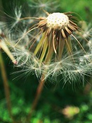 Happy Friday. wish 26/30 #picturespring (life stories photography) Tags: 2017 june grass wishes dandelion iphone picturespring ohio nature