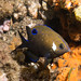 In betweeny - White ear intermediate stage - Parma microlepis #marineexplorer