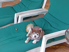 Coco, Just Relaxing in the Lanai (gg1electrice60) Tags: dog coco loungechair pomeranian sickly deceased sadly lanai bythepool lovable relaxing