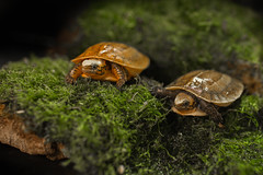 Critically Endangered Bourret's Box Turtles Hatch at the Smithsonian's National Zoo (Smithsonian's National Zoo) Tags: indochineseboxturtles nzp reptilediscoverycenter washington dc usa smithsonian smithsoniansnationalzoo