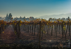 Autumn Vineyard - Liray Chile - XT2 - May 20 2017-2 (Johnny Edward Bankson) Tags: chile colina edward fall fujifilm fujinon fujinonxf50140mmf28rlmoiswrlens john johnbankson johnedwardbankson johnb landscape liray photographer southamerica xt2 xf50140mmf28rlmoiswrlens fog fotografia fotografo mist morning photographersonflickr photographersontumblr photography vineyard viña ©johnbankson best jb bestofjb