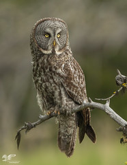 Great Grey Owl (The Owl Man) Tags: