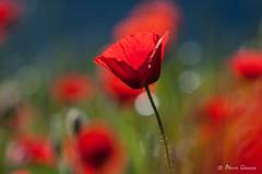 Bandiera rossa ... (Pierrotg2g) Tags: coquelicot poppies fleur flower rouge red bokeh nikon d90 tamron 70200