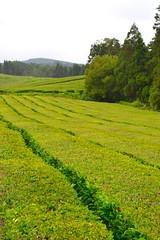 rows of tea leaves (ekelly80) Tags: azores portugal sãomiguel may2017 teaplantation tea greentea chágorreana green rows leaves tealeaves field lines