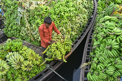Pleasure in the job puts perfection in the work! (ashik mahmud 1847) Tags: bangladesh d5100 nikkor green group pattern people working man water boat banana musa musaacuminata ngc