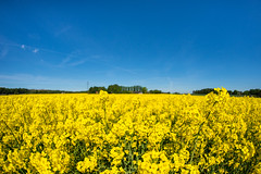 A sea of yellow (karl.b) Tags: yellow sea landscape beautiful clouds sky blue summer crops flowers rapeseed sweden nikond610 nikon28300 bokeh trees forest nopeople warm field