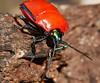 Flame red Jewel Bug Scutelleridae Airlie Beach P1010645 (Steve & Alison1) Tags: flame red jewel bug scutelleridae airlie beach