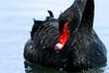 Cygne noir-2761 (SylBon) Tags: cygnenoir cygne vairessurmarne