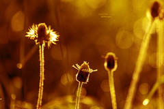 morning glow ... (mariola aga) Tags: meadow grass morning sunrise plants wildflowers light backlight glow bokeh hue closeup art thegalaxy