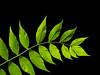 Fresh green leaves (Ciddi Biri) Tags: leaf leaves green nature plant brunches spring tree photosynthesis oxygen m43turkiye omdem10 60mmf28macro yaprak bahar dal yeşil