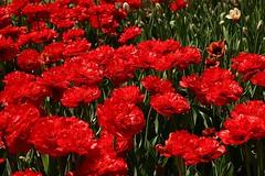 2017 Ottawa Tulip Festival 046 (Chrisser) Tags: flowers tulips tulipfestivals tulipfestival liliaceae nature ottawa ontario canada canoneosrebelt6i canonefs1855mmf3556isstmlens travel