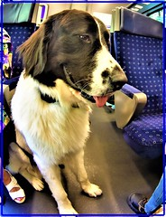 In a Swiss touristic train: A heavy passenger! (Ioan BACIVAROV Photography) Tags: dog animal chien train passenger swiss humour switzerland bacivarov ioanbacivarov bacivarovphotostream interesting beautiful wonderful wonderfulphoto nikon journalism photojournalism littledoglaughesstories