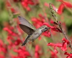 Hummingbird 048c (Az Skies Photography) Tags: nature bird animal flying hummingbird tucson arizona az tucsonaz sonoran desert sonorandesert westward look resort westwardlookresort may 19 2017 may192017 51917 5192017 canon eos 80 canoneos80d eos80d wildlife flower flowers blooms