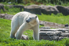 AR2017_0517_Blijdorp_8533 (Adri Rovers) Tags: blijdorp rotterdam zuidholland gewervelden ijsbeer zoogdieren