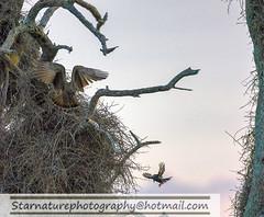 _DJA3588 copy (naturephotographywildlife) Tags: kruger wildlife scenery animals birdlife a99ii africa park hamerkop