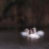The Swan Lake (gelelie / Gerda) Tags: 15 2017 kralingseplas le swans