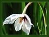 Blüte weiß (Martin Volpert) Tags: mavo43 blüte blumen flor cvijet kvet blomster flower floro õis lore kukka fleur bláth virág blóm fiore flos žiedas zieds bloem blome kwiat floare ciuri flouer cvet blomma çiçek pflanze blossoms weiss