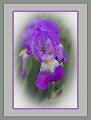 Queen for the day! (bonnie5378) Tags: iris may2017 naturescarousel ngc