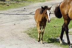 O_Potrinho_03 (Parchen) Tags: potro potrinho cavalo praia rua filhote equus equuscaballus nomecientífico cavalosderua soltos livres foto fotografia imagem registro parchen carlosparchen