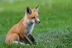 fox kit (Mel Diotte) Tags: fox kit