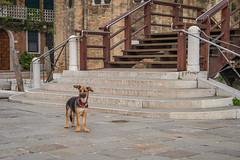 Q1006999 (sswee38823) Tags: veneziaitaly veneto venice venezia europe travel vacation italy city dog puppy steps aposummicron50mmf2 aposummicron aposummicron50 aposummicronm1250asph apo leicaapo502 leicaaposummicronm50mmf2asphfle leicaaposummicronm50mmasph leicaaposummicronm50mmf2asph summicron50mmapo summicron50mm summicron leica leicam leicamtype240 leicacamera seansweeney
