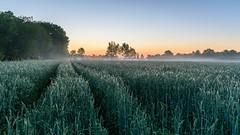 Kornfeld im Brook (webpinsel) Tags: brook frühling frühnebel halternamsee landschaft morgendämmerung morgenstimmung natur sonnenaufgang sythen morgens