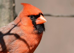 Northern Cardinal (JDA-Wildlife) Tags: birds nikon nikond7100 tamronsp150600mmf563divc jdawildlife johnny portrait closeup northerncardinal cardinalnorthern centralparknycny eyecontact wow brilliant