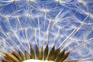 Dandelion HMM :-)