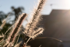 Reaching for the Sun (OzzRod) Tags: pentax k1 smcpentaxdfa100mmf28macro plant grass backlit intothesun closeup flare barbeach