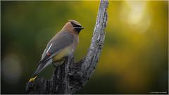 Cedar Waxwing - Explored May 29, 2017 (Chris Lue Shing) Tags: aurora ontario canada ca nikond700 nikonafs70300f4556gvr bird nokiidaatrail mckenziemarsh nature ©chrislueshing afsnikkor70300mm14556g nikon 70300 70300mm nikkor animal d700 waxwing cedarwaxwing wetland yellow bokeh explored explore