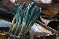 Green Clubs (Microglossum viride)