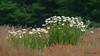 Margeriten (Oerliuschi) Tags: wiese blumen flowers margeriten weis grün landschaft