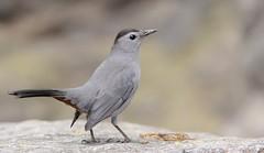 Gray Catbird (JDA-Wildlife) Tags: birds nikon nikond7100 tamronsp150600mmf563divc jdawildlife johnny centralparknycny portrait closeup eyecontact catbirdgray graycatbird explore explored
