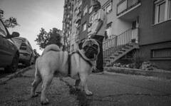 Puggy just :P (David Fóti) Tags: pug dog owner animal man residential flat city town yard frontyard pedestrian pavement sidewalk cute blackandwhite sony a6500 16mm pancake street photo photography komárno slovakia hood neighborhood