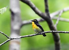 Brilliant yellow (ogawa san) Tags: narcissusflycatcher bird wildbird hokkaidou japan niseko forest woods beautiful voice outdoor nature キビタキ flycatcher