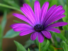 Purple Osteospermum Flower (Anton Shomali - Thank you for over 1 million views) Tags: purple osteospermum flower garden flowers nature color colour colors seed seeds autofocus back yard backyard house beatiful single macro