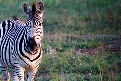 DSC_0372 (Miss Mary D) Tags: kruger national park south africa wildlife safari nature zebra