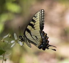 Eastern Tiger Swallowtail, Garden of The Gods Wilderness, IL (Ranger Robb) Tags: gardenofthegodsillinois shawneenationalforest nature