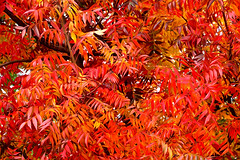 Autumn Fire_PB_5010 (Rikx) Tags: autumnleaves autumnfire autumn fall leaves red yellow gold golden fire tree blazing beautiful pixelbender oilpaint adelaide southaustralia explore