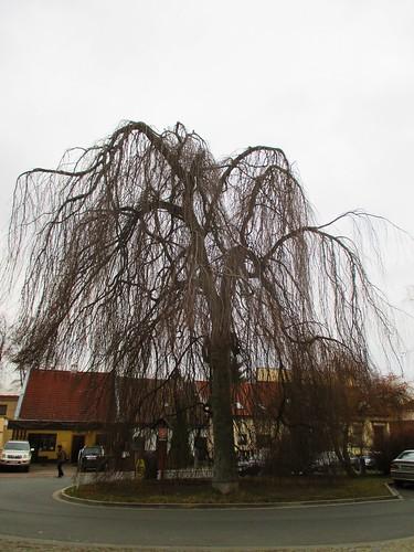 Památný strom - buk lesní převislý  v Koželužské ulici