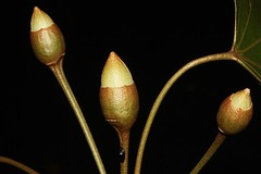 Thespesia populneoides (andreas lambrianides) Tags: thespesiapopulneoides malvaceae thespesiapopulneavartypica hibiscuspopulneoides thespesiapopulneavarbynoeana tuliptree indiantuliptree portiatree pacificrosewood australianflora australiannativeplants australianrainforestplants australianrainforests australianrainforestflowers warfp qrfp ntrfp cyrfp yellowarfflowers arfflowers beachforest galleryforest tropicalarf subtropicalarf