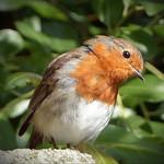Robin thumbnail