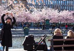 Under the cherry trees - HBM! (Infomastern) Tags: kungsan kungsträdgården stockholm cherryblossom folkliv körsbärsträd life livboj människa people sakura streetlife tree exif:model=canoneos760d exif:focallength=40mm camera:make=canon exif:isospeed=100 camera:model=canoneos760d geocountry exif:aperture=ƒ50 geolocation geostate geocity exif:lens=ef40mmf28stm exif:make=canon