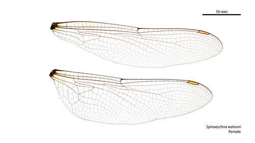 Spinaeschna watsoni female wings