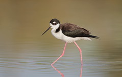 Black-necked Stilt Gilbert water ranch az (mandokid1) Tags: canon canon500f4 1dx birds shorebirds arizona