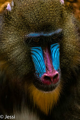 Pavian (Felicis_Flower) Tags: affe monkey pavian zoo saarbrücken tier animal blau baboon fell nase rot tierfotografie tieraufnahme